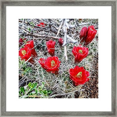 Cactus Bloom In Colorado #cactus #bloom Framed Print