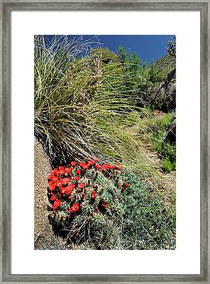 Crimson Barrel Cactus Framed Print