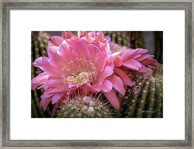 Cactus Bloom Framed Print