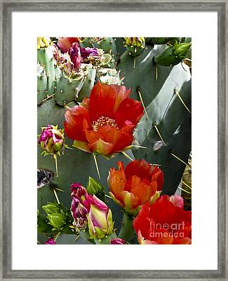 Cactus Blossom Framed Print by Kathy McClure