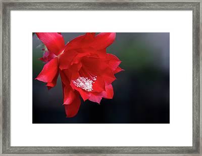 Cactus Blossom Framed Print