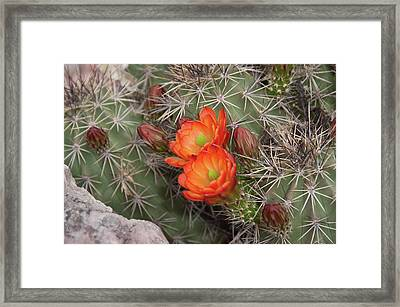 Cactus Blossoms Framed Print