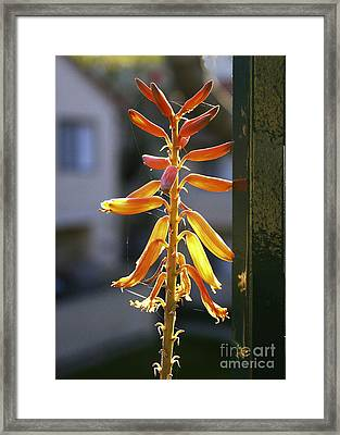 Framed Print featuring the photograph Cactus Blum On My Balcony. by Viktor Savchenko