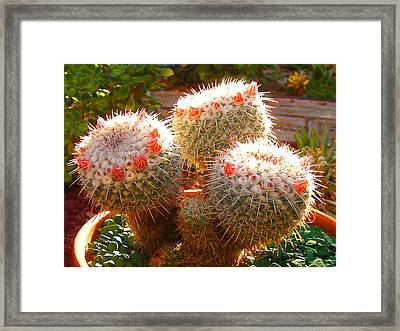 Cactus Buds Framed Print by Amy Vangsgard