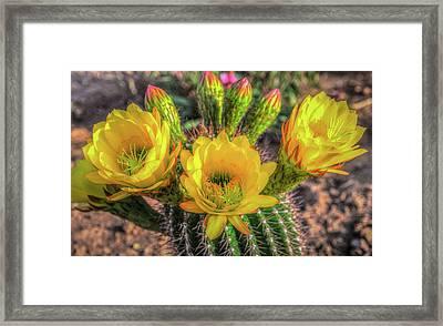 Cactus Flower Framed Print by Mark Dunton