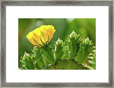 Framed Print featuring the photograph Cactus Flower On A Cactus Plant by Dan Carmichael