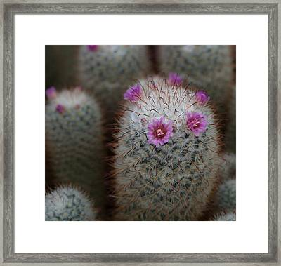 Cactus Flowers Framed Print by Denise McKay