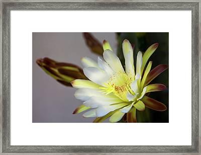 Cactus In Blossom Framed Print