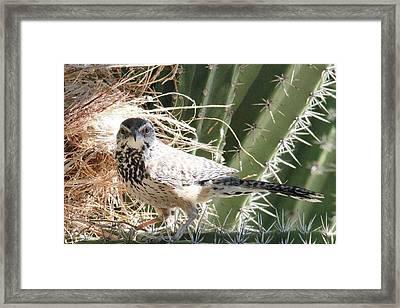 Cactus Wren 3 Framed Print