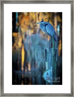 Caddo Blue Heron Framed Print