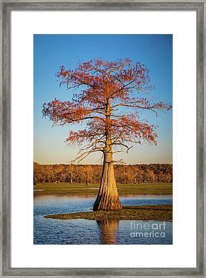 Caddo Single Cypress Framed Print