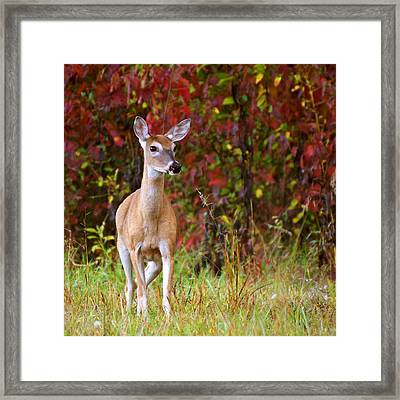 Framed Print featuring the photograph Cades Cove Doe by Bob Decker