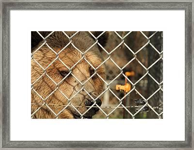 Caged Bear Framed Print