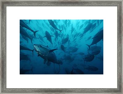 Caged Bluefin Tuna Are Being Fattened Framed Print by Brian J. Skerry