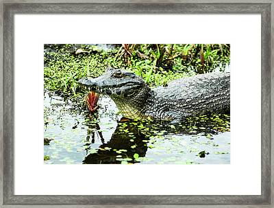 Caiman Relaxing Framed Print by Norman Johnson