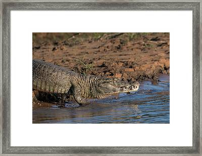 Framed Print featuring the photograph Caiman by Wade Aiken