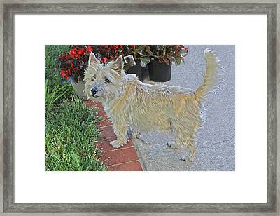 Cairn Terrier On The Patio Framed Print