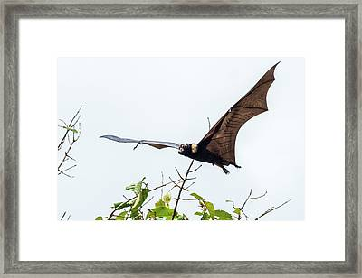 Cairns Fruit Bat Framed Print