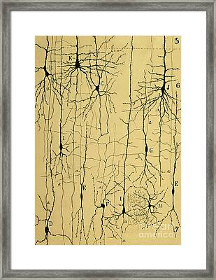 Cajal Drawing Of Microscopic Structure Of The Brain 1904 Framed Print