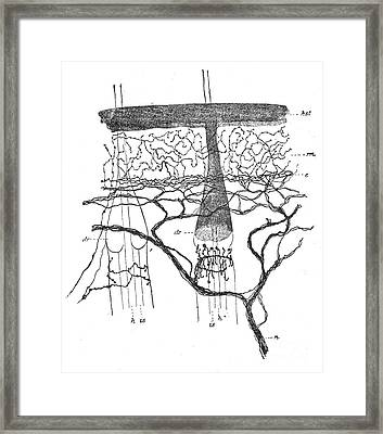 Cajal Illustration Rat Nerve Endings Framed Print by Science Source
