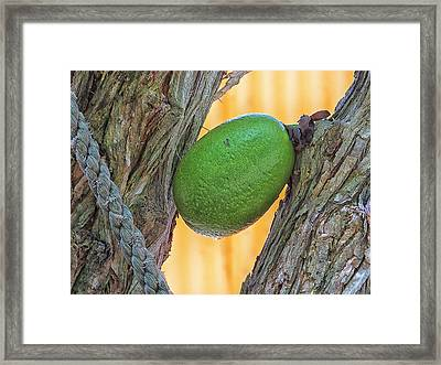 Framed Print featuring the photograph Calabash Fruit by Bill Barber