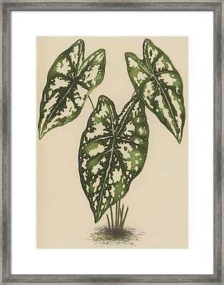 Caladium Argyrites Framed Print by English School