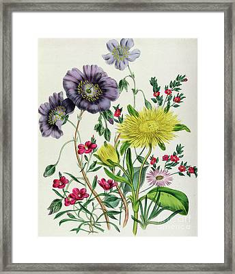 Calandrinia Framed Print by Jane Loudon