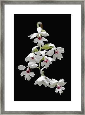 Calanthe Vestita Orchid Framed Print