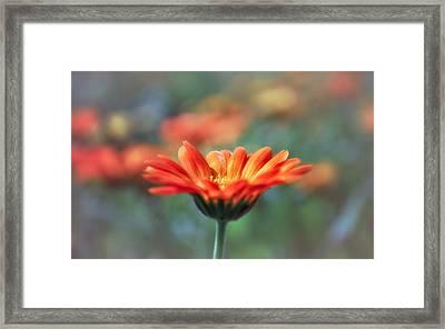 Calendula Framed Print