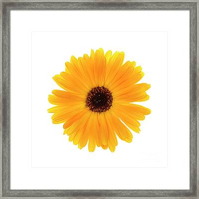 Framed Print featuring the photograph Calendula Flower by Elena Elisseeva