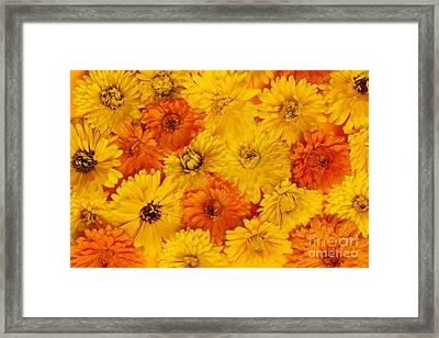 Calendula Flowers Framed Print by Elena Elisseeva