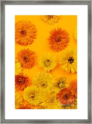 Calendula Flowers On Orange Background Framed Print by Elena Elisseeva
