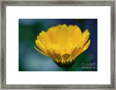 Framed Print featuring the photograph Calendula by Sharon Mau