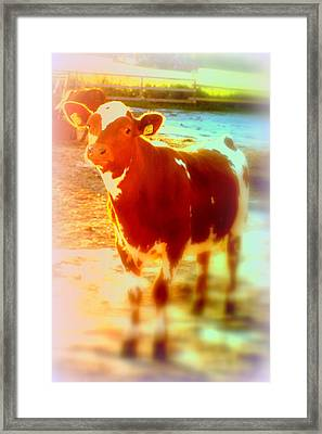 This Calf Has A Hope For A Long And Happy Life But How And When Will It End   Framed Print by Hilde Widerberg