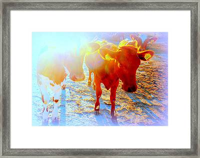 Freedom For The Calfs  Framed Print