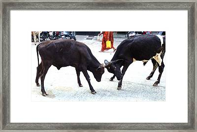 Calf Fighting Framed Print by Ragunath Venkatraman