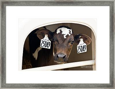 Calf Framed Print by Inga Spence