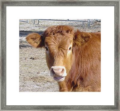 Calf Smiles Framed Print by Debbie May