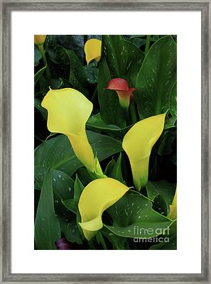 Cali Lilies Framed Print by David Shaffer