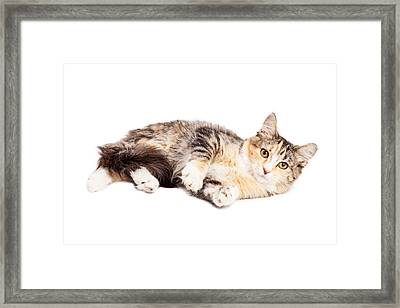 Calico Kitty Laying Over White Framed Print