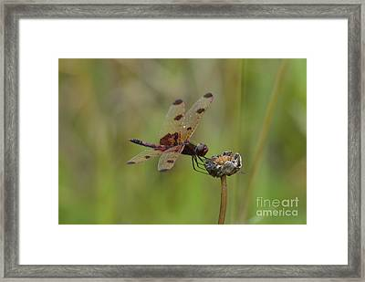 Framed Print featuring the photograph Calico Pennant by Randy Bodkins