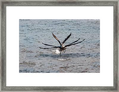 California Brown Pelicans Flying In Tandem Framed Print