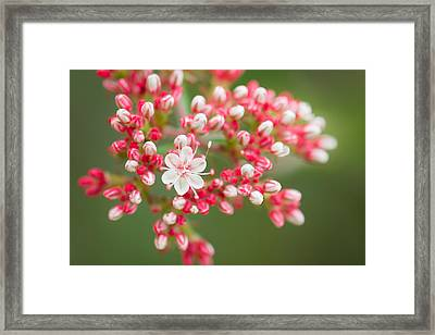 California Buckwheat Framed Print
