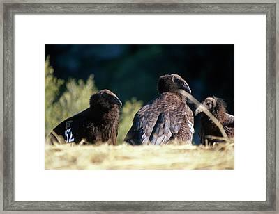 California Condors Framed Print