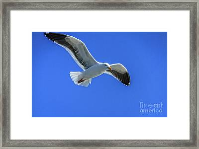 California Gull Framed Print by Robert Bales