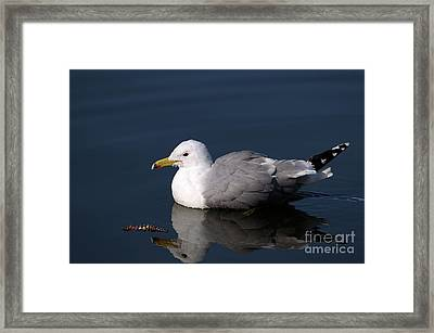 Framed Print featuring the photograph California Gull by Sharon Talson