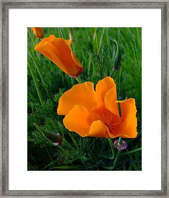 California Happy Cow Fodder Framed Print