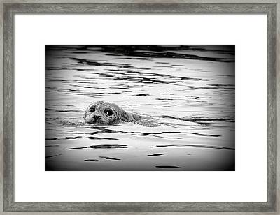 California Harbor Seal Framed Print