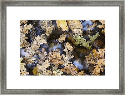 Framed Print featuring the photograph California Oak Leaves  by Sherri Meyer