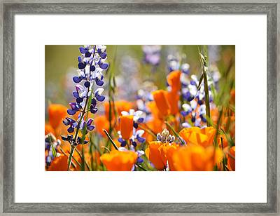 California Poppies And Lupine Framed Print by Kyle Hanson